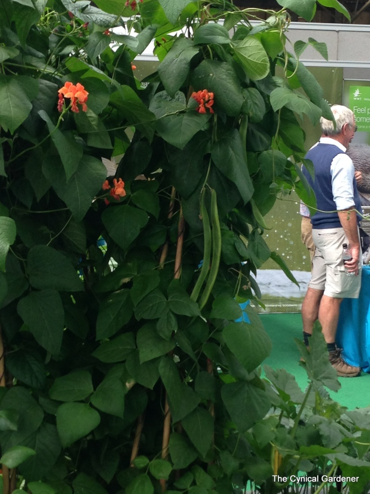 Suspiciously advanced Runner Beans on a display, with obligatory Shorts.