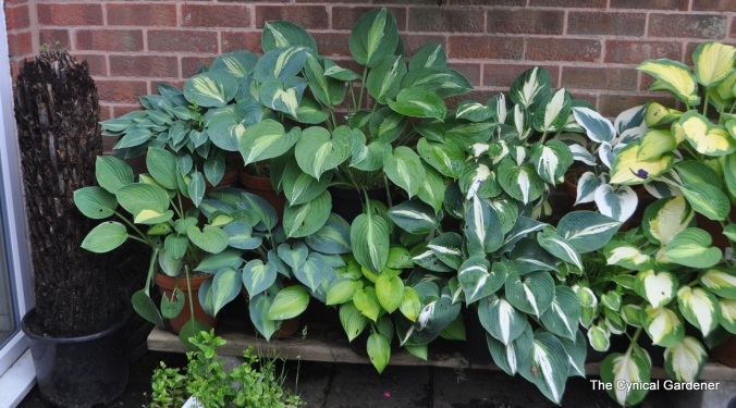 Hosta Plant Display.