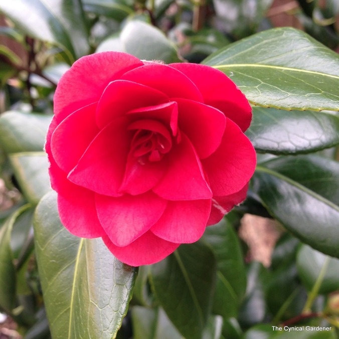 Camellia 'Ace of Hearts'