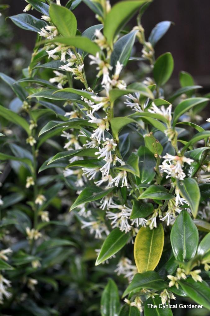 Sarcococca hookeriana humilis. (Christmas Box).