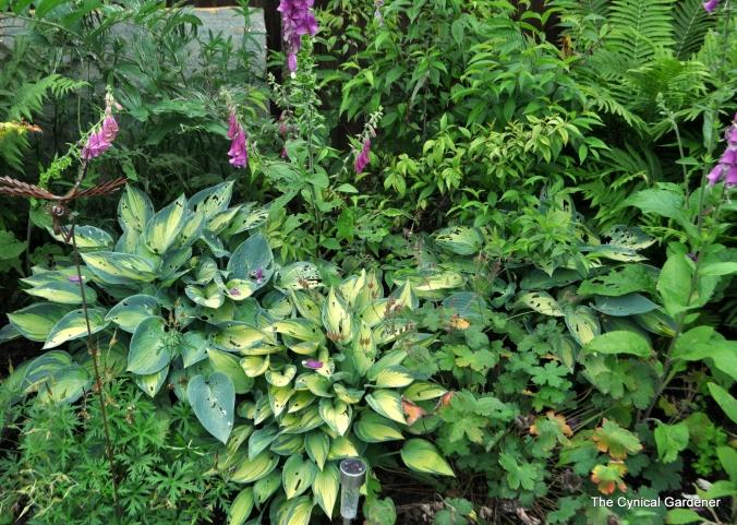 Hosta June & Various Hardy Geraniums keeping the slugs entertained.