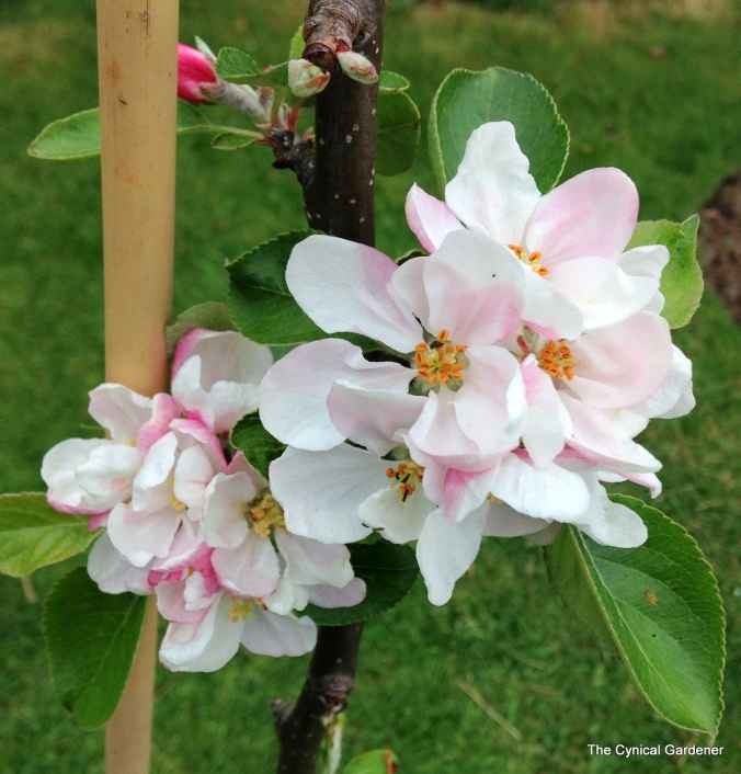 Apple Blossom on James Grieve