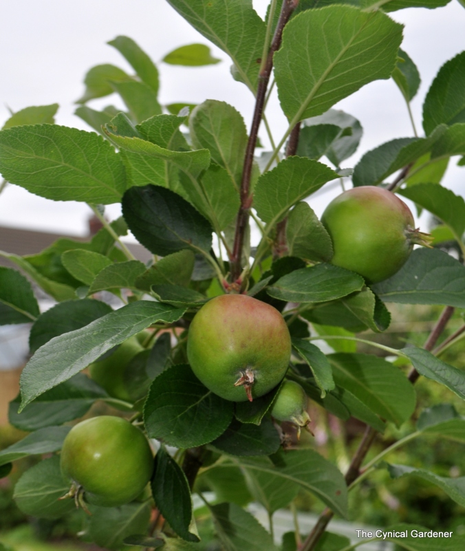 Apple 'James Grieve' currently looking nothing like this picture.