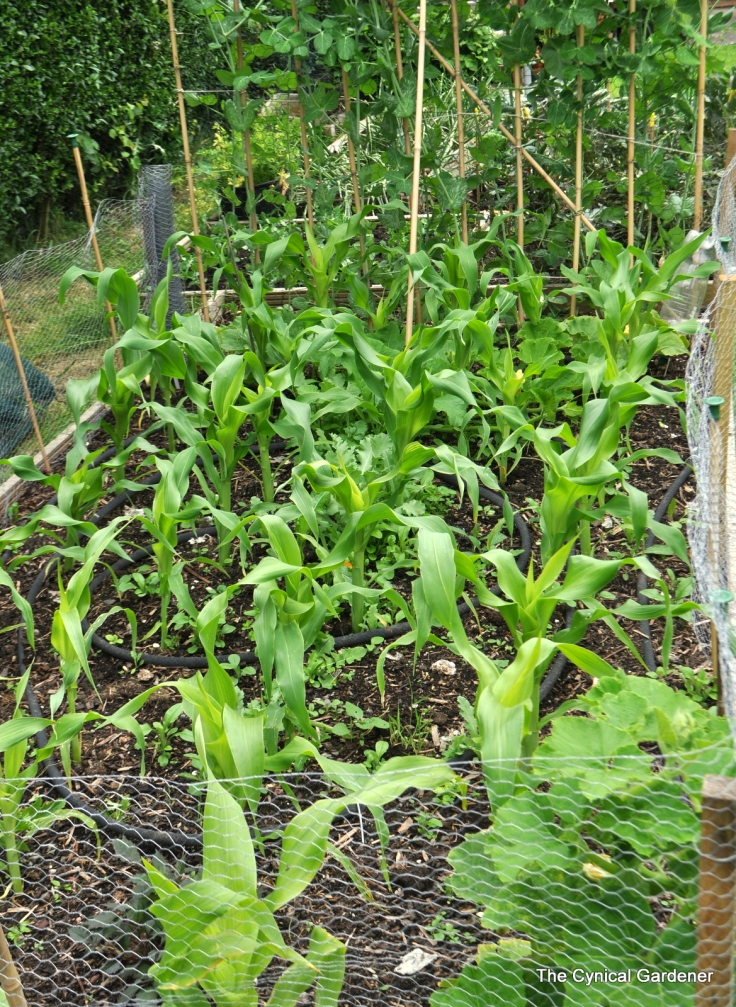 My was Island Bed in the sunny bit, now my Sweet Corn production area.