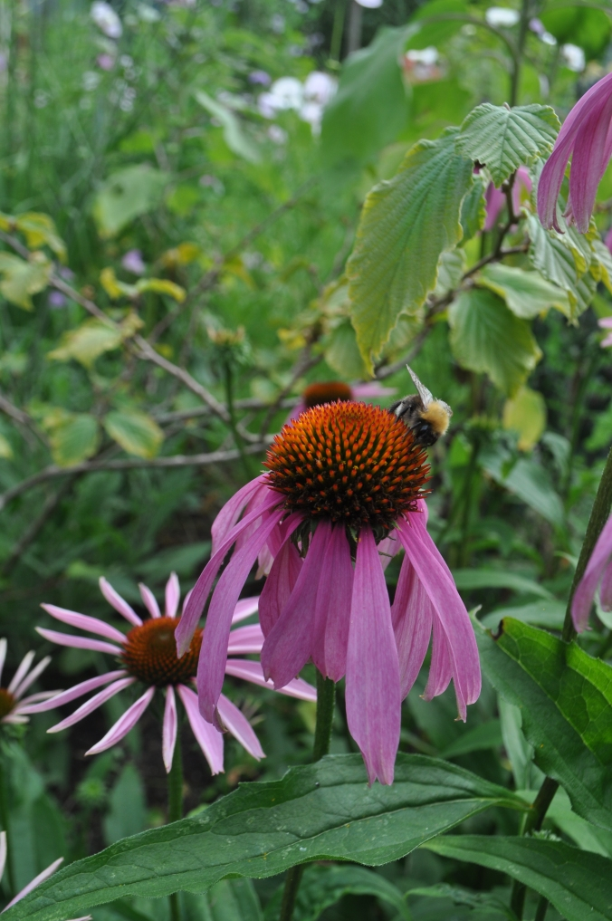 Bees loving the Echinacia