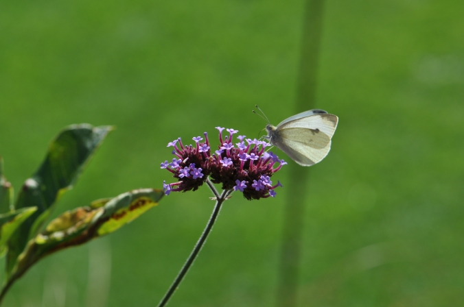 Large White  Butterfly on verbena bonariensis.