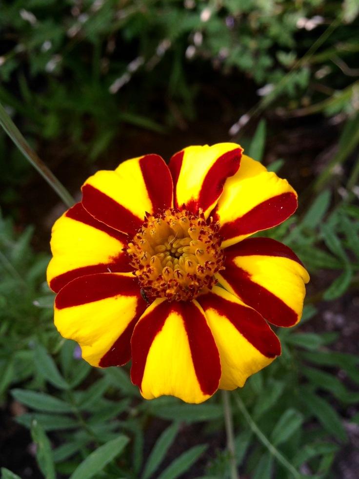 Stripey Marigold