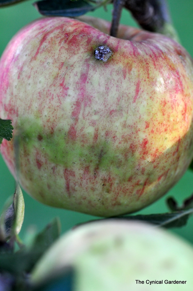 Dark mark across the skin of a the Apple.