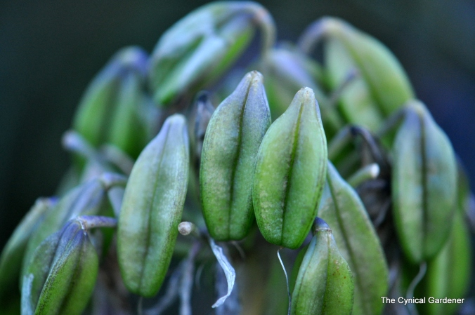 Agapanthus Pods.