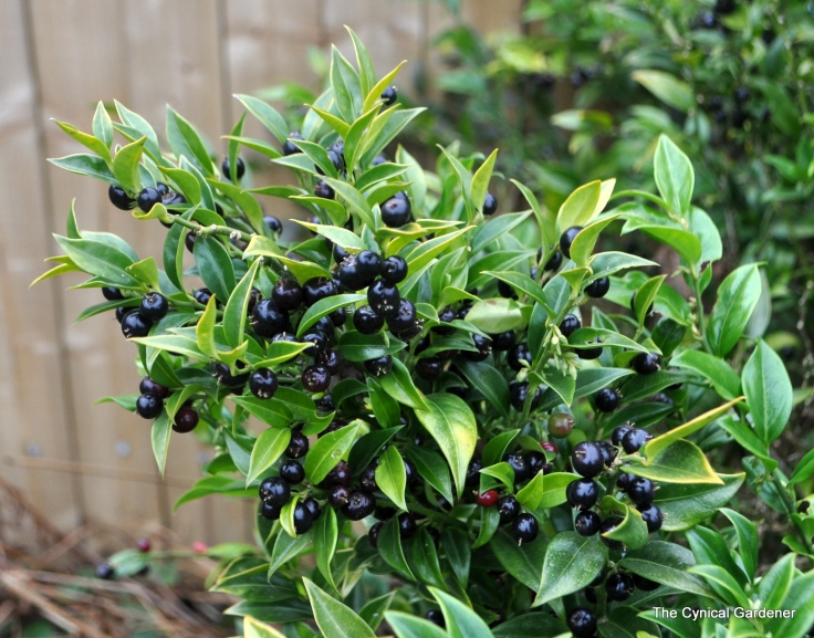 Sarcococca fruits
