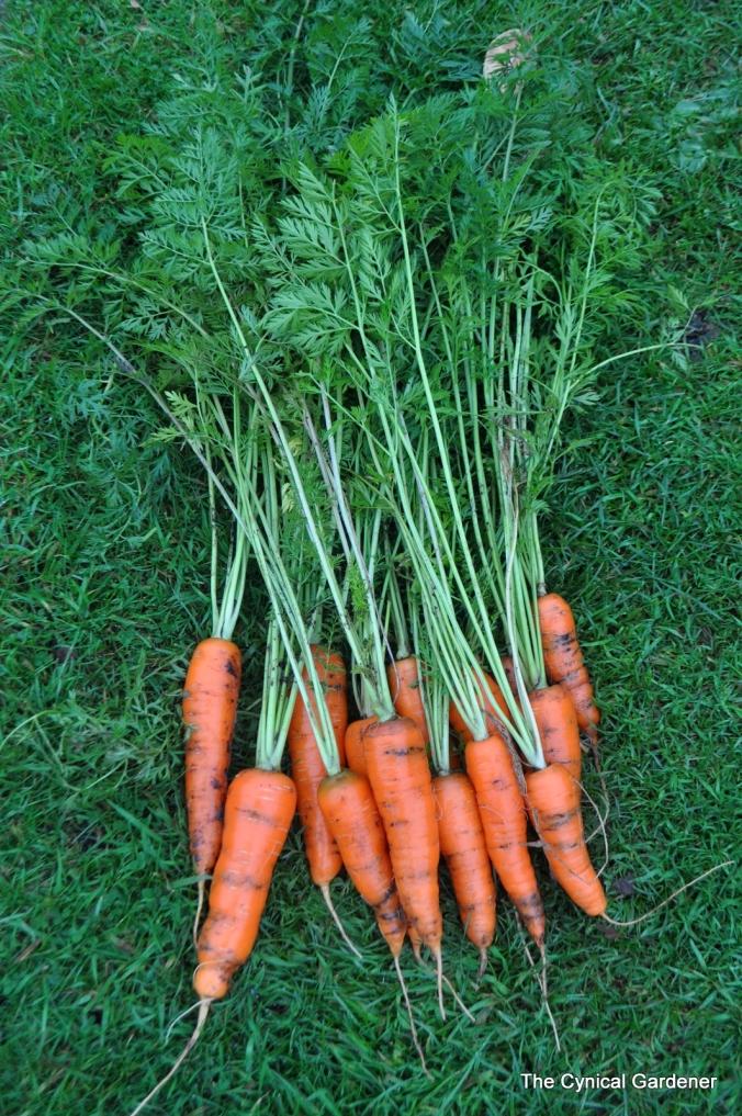 Carrot fly riddled carrots.