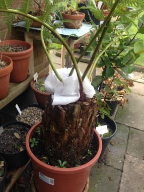 Shop bought Tree Fern