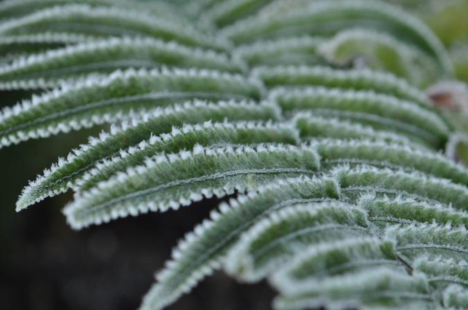 Icy Fern