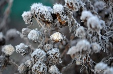 Frozen Aster Seed heads