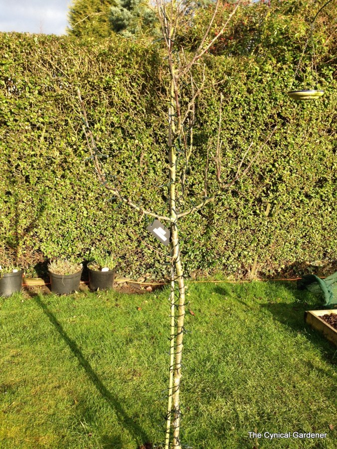 The not much happening Apple Tree