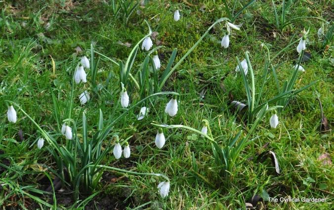 Snowdrops looking splendid.