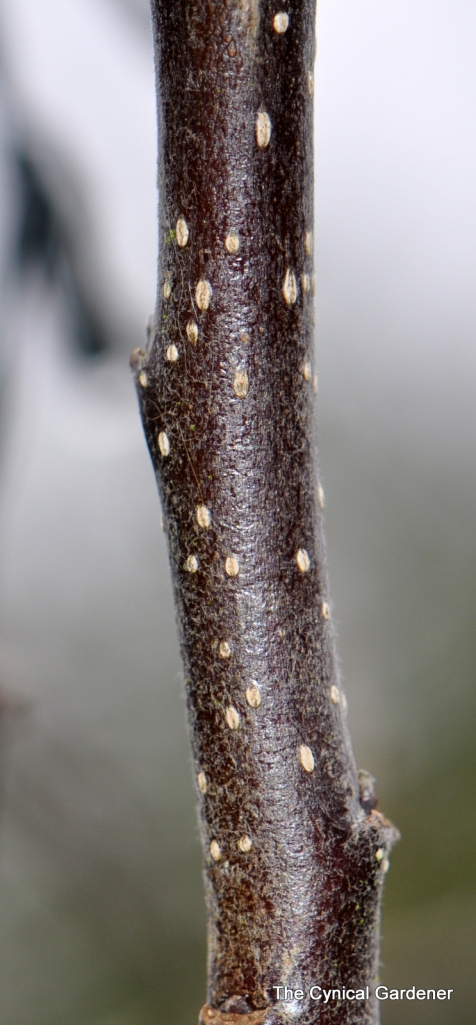Lenticels on Apple Stems