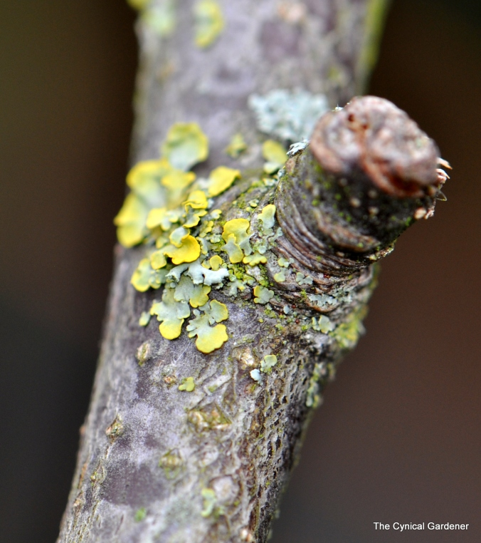 Yellowy- grey Lichen