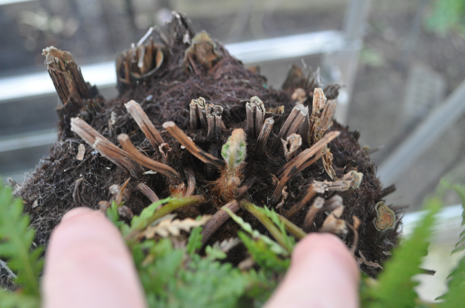 Tree Fern showing signs of life.