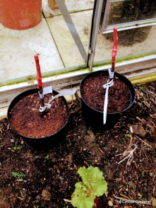 Finished grafts potted up in mix of Multi Purpose and loamy compost