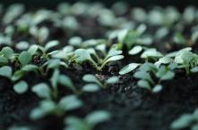 Rudbeckia Seedlings