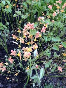 Epimedium × versicolor 'Sulphureum