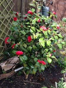 Camellia 'Red Ace'