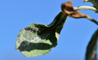 Powdery mildew on leaves