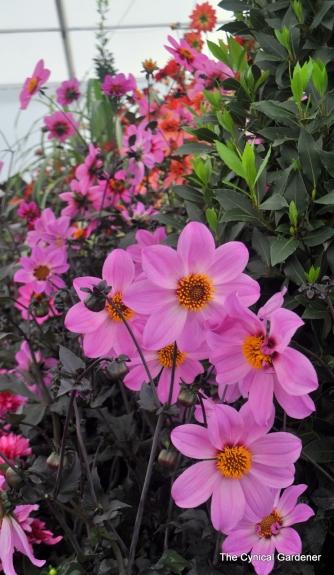National Dahlia Society Display. MT New Pink Single