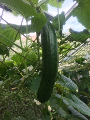 Cucumber, One of Many!