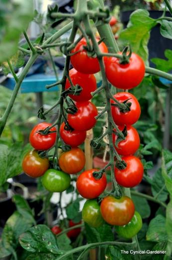 Tomato Suncherry Premium