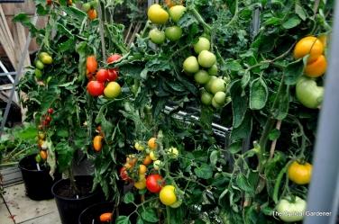 Various Heritage Tomatoes