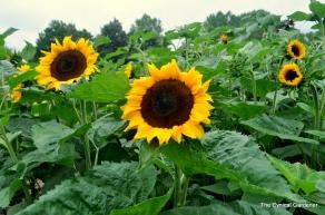 Sunflower 'Feed The Birds'