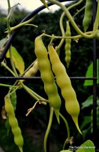 Brazilian Climbing Beans