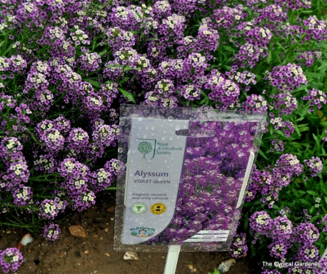 Purple Flowering Alyssum Violet Queen.