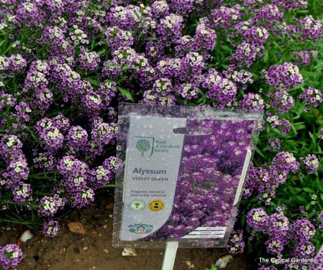 Purple Flowering Alyssum Violet Queen.