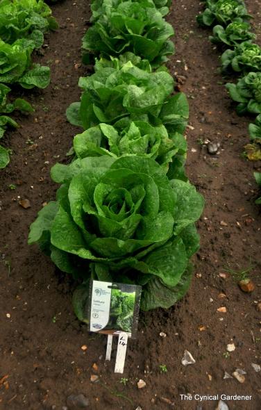 lettuce cosmic.