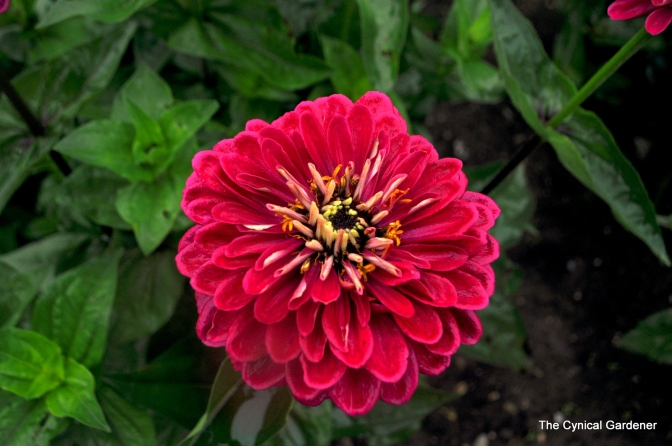 Yet more Zinnias
