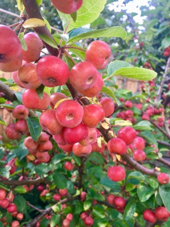 Malus 'Evereste'.