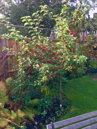 Malus 'Evereste' about 2m tall.