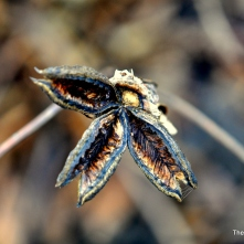 Peonie seed pod remains