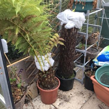 Tree Ferns hibernating last year.