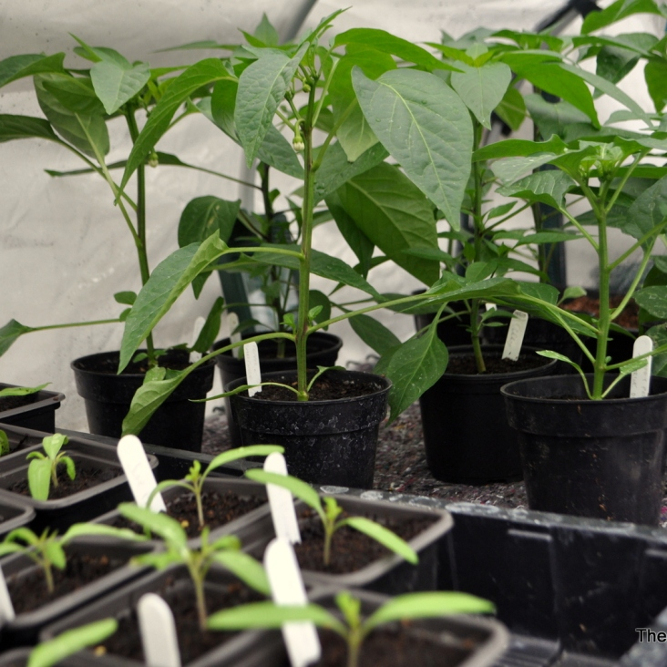 Chillies & Tomato Seedlings