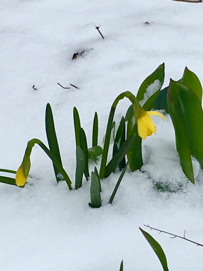 Snowy daffodil