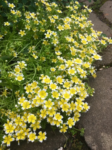 Limnanthes douglasii - Poached Egg Plant