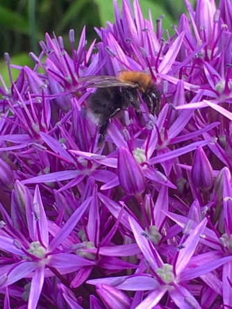Allium Lucy Ball