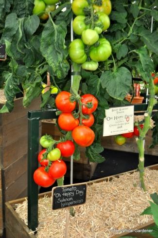 Tomato Oh Happy Days