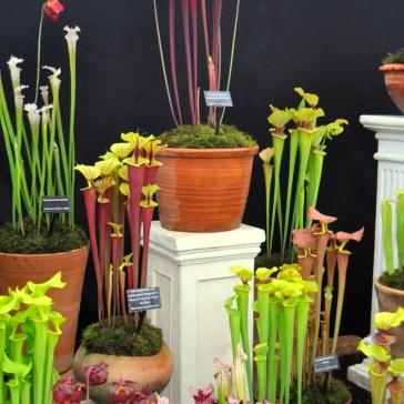 Sarracenias on display