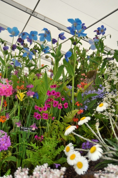 Primulas and meconopsis