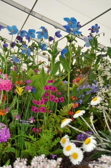 Primulas and meconopsis